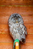 The Ural owl - in Latin Strix uralensis - nocturnal owl of the genus Strix. Portrait of Ural owl bird in captivity. Ural owl bird sitting on the perch and royalty free stock photography