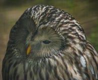 Ural Owl 2 royalty free stock photo