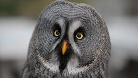 Ural owl looking around stock video footage