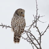 Ural owl in natural habitat (strix uralensis) Royalty Free Stock Photography