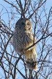 The Ural owl in natural habitat strix uralensis. Ural owl in natural habitat strix uralensis royalty free stock images