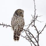 Ural owl in natural habitat (strix uralensis) Stock Photography