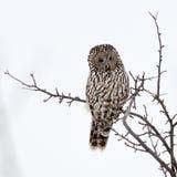 Ural owl in natural habitat (strix uralensis) Royalty Free Stock Photos