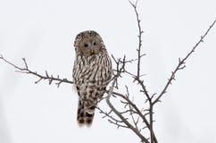 Ural owl in natural habitat (strix uralensis) Royalty Free Stock Photo