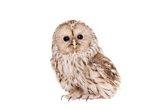 Ural Owl On The White Background Stock Photos