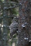 Ural owl peeking Royalty Free Stock Image
