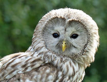 Ural Owl. Photographed at the Kielder Water Birds of Prey Centre Royalty Free Stock Photo