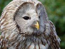 Ural Owl. Photographed at the Kielder Water Birds of Prey Centre Stock Photography
