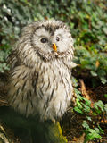 Ural Owl. Portrait of Ural owl - Strix uralensis, closeup Royalty Free Stock Photography