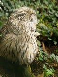 Ural Owl Royalty Free Stock Photo