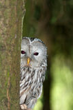 A Ural Owl in it's Natural Habitat. Ural Owl peeking out from behind a tree Stock Image