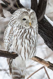 Ural owl Stock Photos