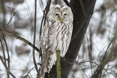 Ural owl Stock Photo