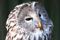 Ural owl sitting on a branch. beautiful owl. stock photography