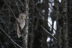 Ural owl sitting Royalty Free Stock Photos