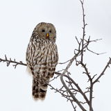 Ural owl sitting on branch (strix uralensis) Stock Photo