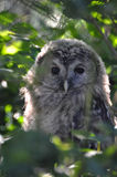 Ural Owl Stock Images