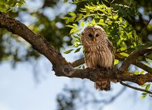 Ural owl sitting in a tree royalty free stock photos
