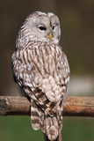 Ural owl - sitting wisdow. The ural owl sitting on the wooden rail Stock Image