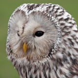 Ural Owl (Strix uralensis) Stock Images