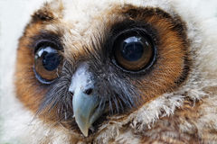 Ural owl or strix uralensis bird Royalty Free Stock Photos