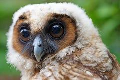 Ural owl or strix uralensis bird. Closeup of ural owl or strix uralensis bird royalty free stock photo