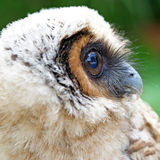 Ural owl or strix uralensis bird Stock Image
