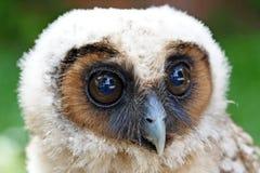 Ural owl or strix uralensis bird Stock Photography