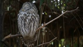 Ural Owl Strix Uralensis. On the branch stock video