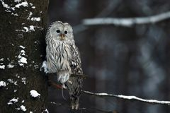 Ural owl Strix uralensis with catched prey. Ural owl Strix uralensis is a medium-sized nocturnal owl of the genus Strix royalty free stock images