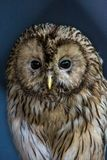 Large tawny, Ural Owl - Strix uralensis, close-up stock photo