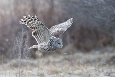 Ural Owl (Strix uralensis) flying in a forest near Reci Nature Reserve stock image