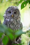 Ural Owl. The Ural Owl (Strix uralensis) in the forest Royalty Free Stock Photos