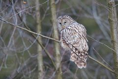 Ural Owl (Strix uralensis) in forest,Brasov, Romania Stock Image