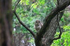 Ural Owl. (Strix uralensis fuscescens) in Japan stock image