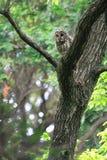 Ural Owl. (Strix uralensis fuscescens) in Japan stock images
