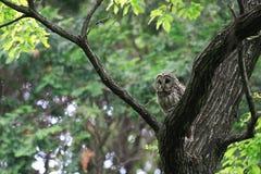 Ural Owl. (Strix uralensis fuscescens) in Japan stock photos