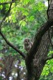 Ural Owl. (Strix uralensis fuscescens) in Japan royalty free stock photos