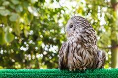 Ural Owl (Strix uralensis) Stock Photos