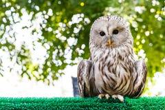 Ural Owl (Strix uralensis) Royalty Free Stock Photo