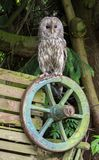 Ural Owl. The Ural owl Strix uralensis is a medium-sized nocturnal owl of the genus Strix, found in Europe and Asia royalty free stock photos