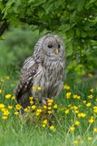 Ural Owl. The Ural owl Strix uralensis is a medium-sized nocturnal owl of the genus Strix. perched on rock in buttercup meadow royalty free stock image