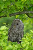 Ural Owl. The Ural owl Strix uralensis is a medium-sized nocturnal owl of the genus Strix. Perched in tree stock photo