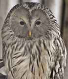 Ural Owl Strix uralensis. The Ural owl Strix uralensis is a medium-sized nocturnal owl found in Europe and northern Asia royalty free stock photo