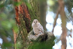 Ural Owl Royalty Free Stock Photos