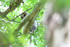 Ural Owl Stock Photography