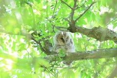 Ural Owl. (Strix uralensis momiyamae) chick in Japan royalty free stock photos