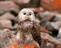 Ural owl. Strix uralensis, nocturnal owl living in Europe and Asia royalty free stock photo
