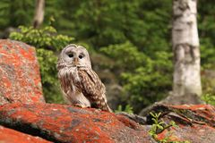Ural owl. Strix uralensis, nocturnal owl living in Europe and Asia stock photos