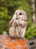 Ural owl. Strix uralensis, nocturnal owl living in Europe and Asia stock photography